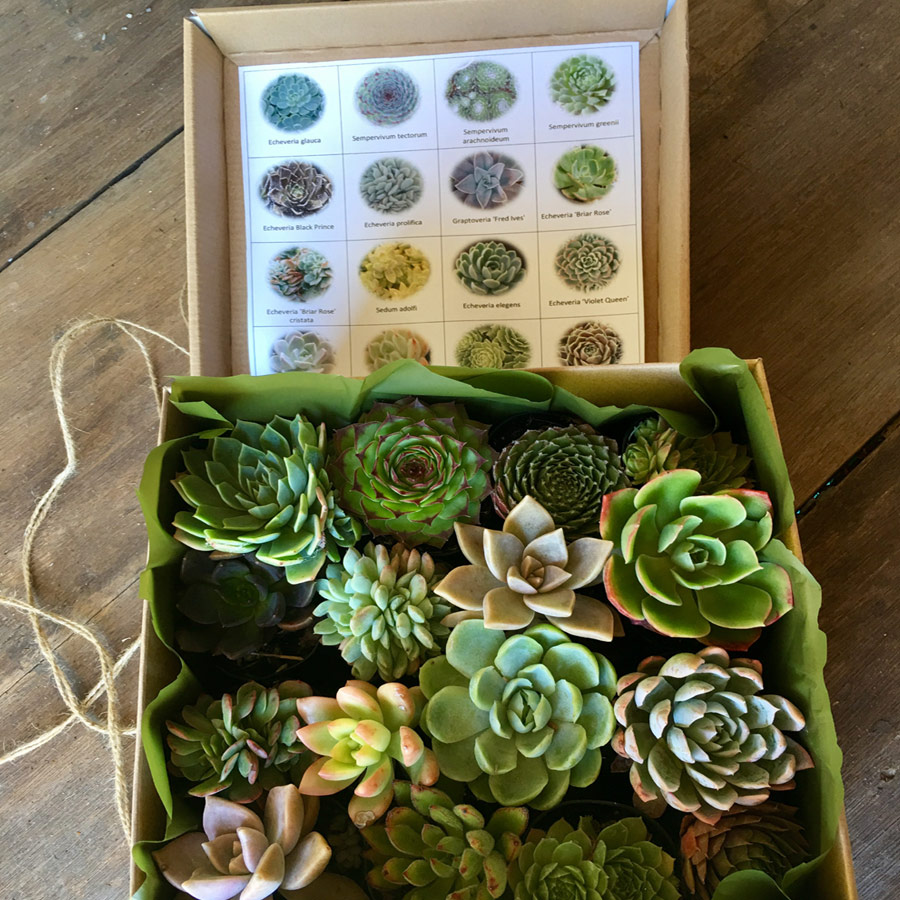 Succulent Gift Box Perth Succulent Bowls